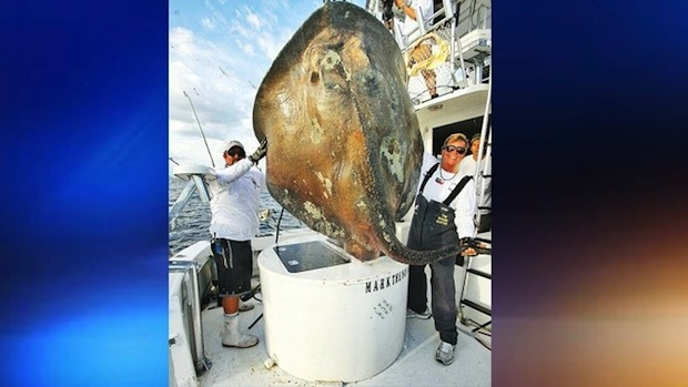 Photos of this rare sea creature, which was released after being caught, are courtesy of Mark Quartiano