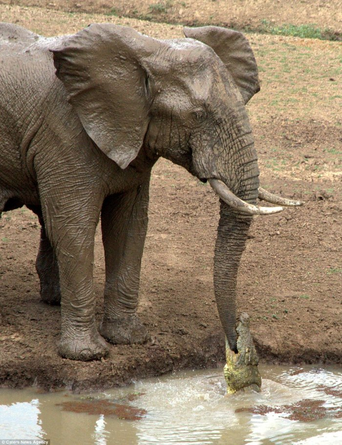 Ouch! The crocodile latched on to the elephant's trunk; photo from Caters News Agency used by permission