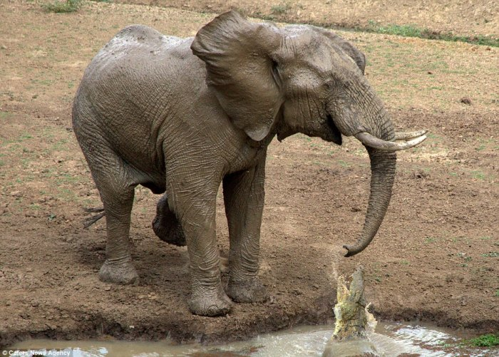 Elephant whips its trunk to dislodge the crocodile; photo from Caters News Agency used by permission