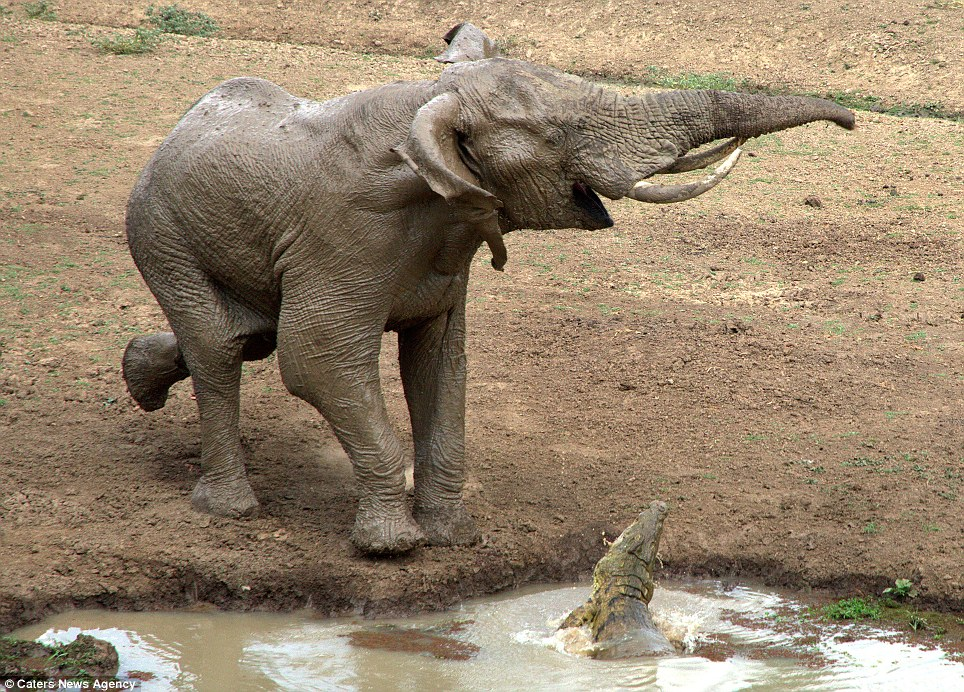 Elephant trumpets before fleeing into the bush; photo from Caters News Agency used by permission