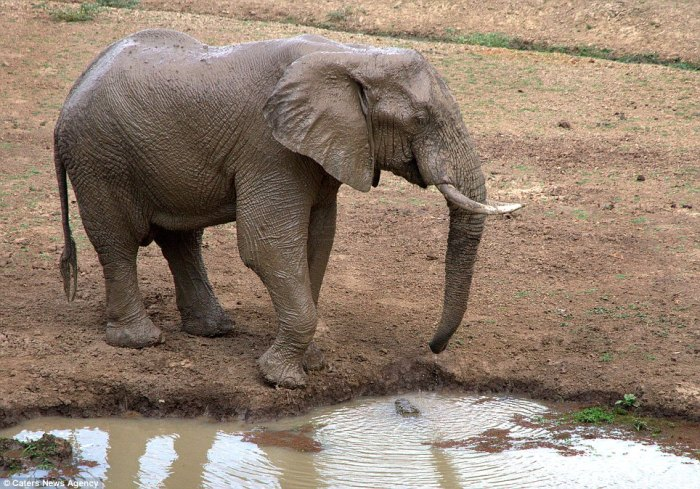 A crocodile lurks under the nose of a young elephant; photo from Caters News Agency used by permission