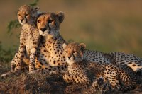 Cheetah cubs and mother
