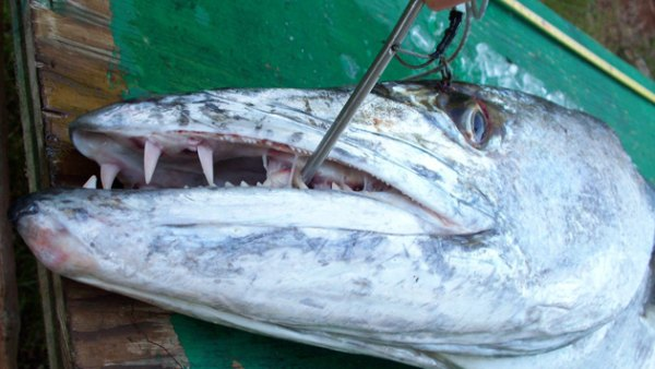 Not so nice smile: the wicked fangs on David Elgas' kayak fishing record 65-pound giant barracuda.