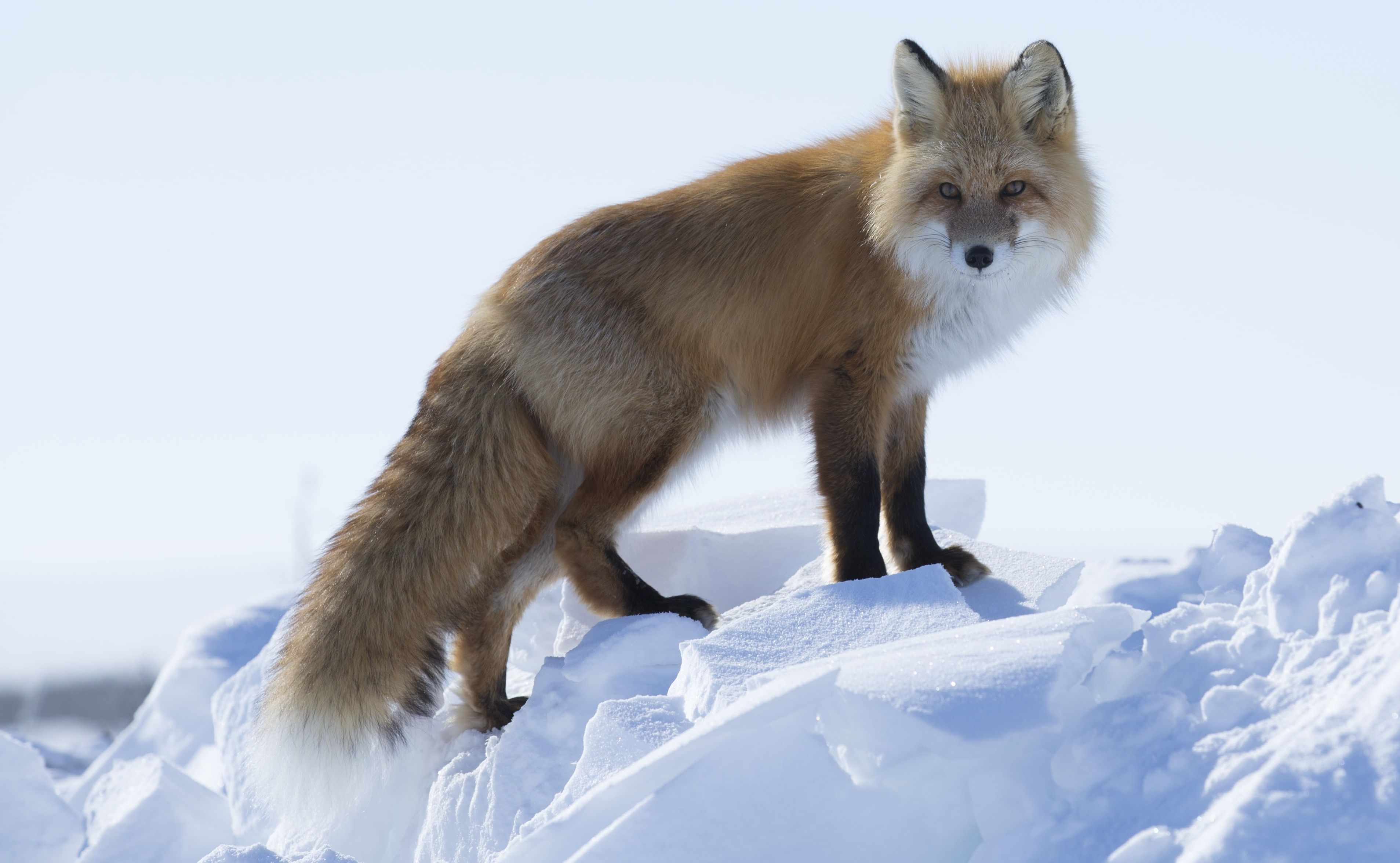 A fox visits Kavik River Camp; photo courtesy National Geographic Channel