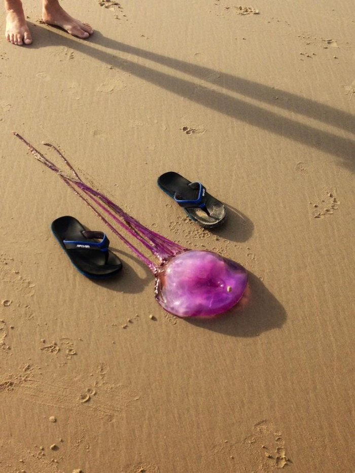 Chances are the purple jellyfish found on Coolum Beach is a new species. Photo courtesy SEA LIFE Mooloolaba