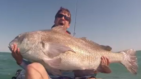 These kayak-caught black drum are so big and powerful, they appear like a caricature of what a giant drum MIGHT look like.