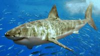 800px White_shark_(cropped)