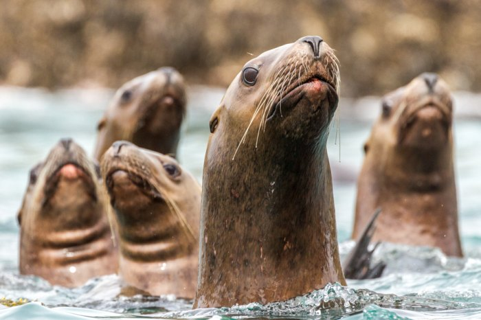 A group of Steller sealions at Middle Pass, Inian Islands, Alaska. Photo taken from kayak.