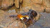 Crab getting ambushed by octopus