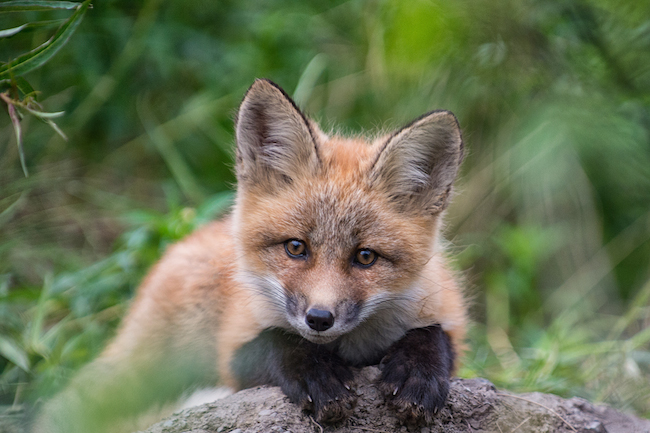Red Fox pups at their den at the headwaters of the Peel River.