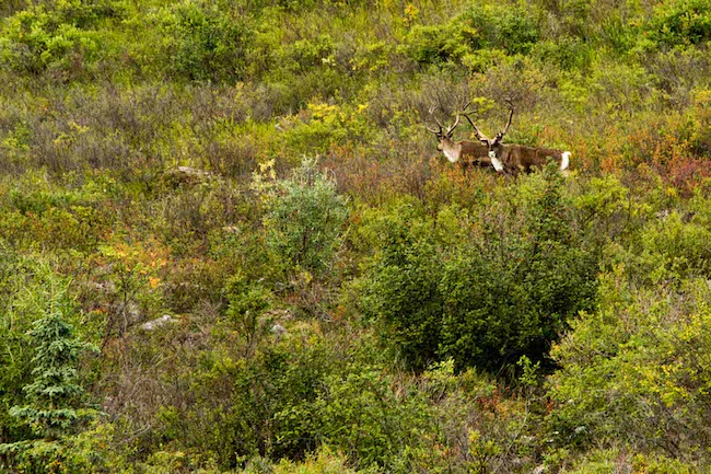 Curious caribou wander about the tundra as a team of paddlers descends down to the Susitna. Photo by Brendan Wells / Mountain Mind Collective