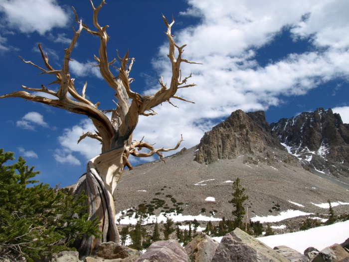 An ancient Bristlecone pine in the shadow of Wheeler Peak. Photo courtesy of Shutterstock.com