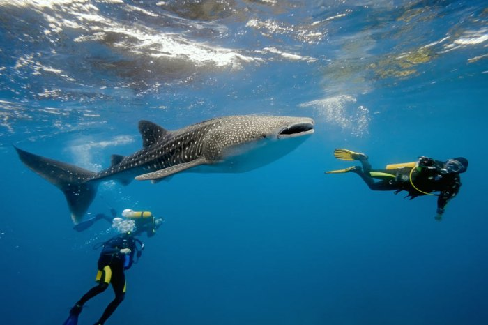 Dive with whale sharks, manta rays, and other sealife when you get your SCUBA certification during spring break; Photo courtesy of Shutterstock.com