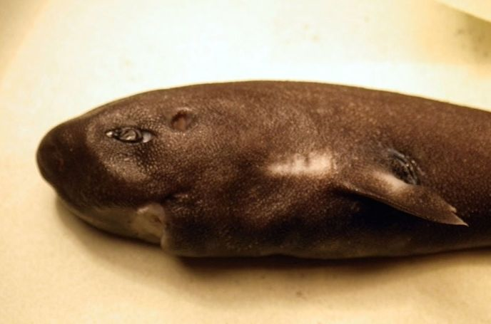 Pocket shark was collected in 2010 but not discovered in the lab until three years ago. Photo courtesy of FishWatch.gov