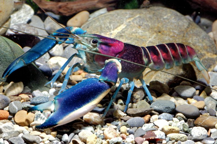 Crayfish species identified as a Cherax pulcher features vivid colors. Photo:  Caters News