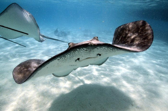 Stingrays are harmless, unless you accidently step on them. Photo: Shutterstock
