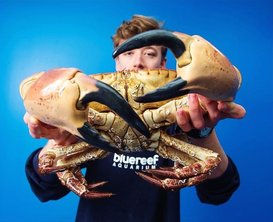 Huge brown crab with giant claws is saved by a fish merchant. Photo: Blue Reef Aquarium Facebook page