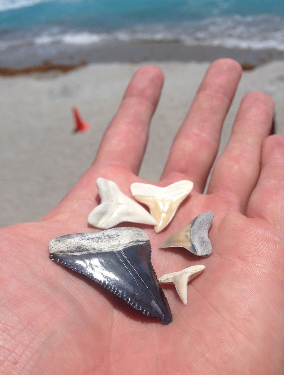 Shark Teeth After Dredging Project