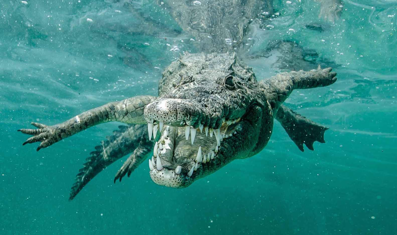 Ricardo Castillo comes face to face with a saltwater crocodile off Cuba. Photo: Courtesy of Ricardo Castillo