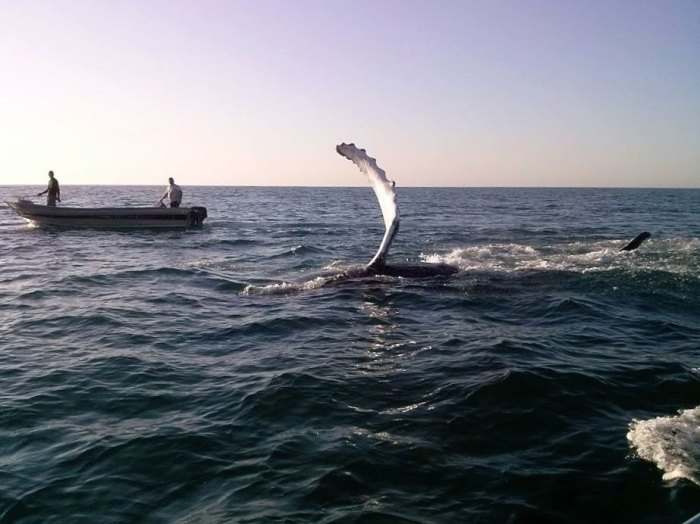 """Humpback whale gives a series of waves and a """"thumbs up"""" to its rescuers off Sao Paulo, Brazil. Photo: Cicinho Barbosa"""