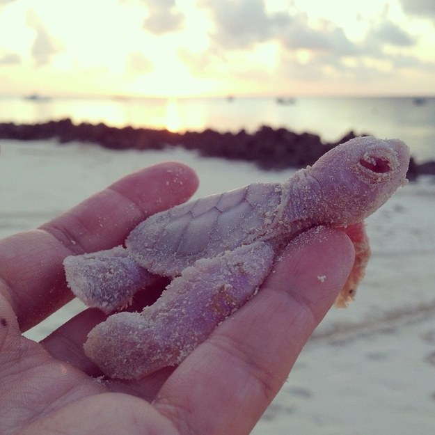 Two of the four rare albino green sea turtles survived to find their way into the ocean from Vamizi Island. Photo: Joana Trindade