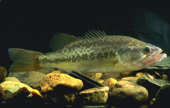 The typical largemouth bass is green. Photo: Wikimedia Commons