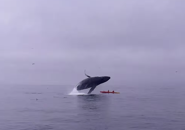 Humpback whale breaches onto kayakers in Monterey Bay