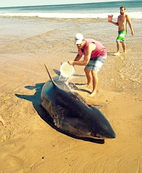 Earliest stage of the rescue effort to save a beached great white shark. Photo: Wellfleet Police Department