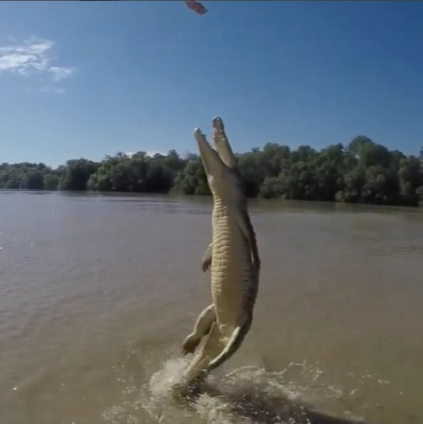 Crocodile launches completely out of the water, using its powerful tale. Photo: Trevor Frost, screen grab