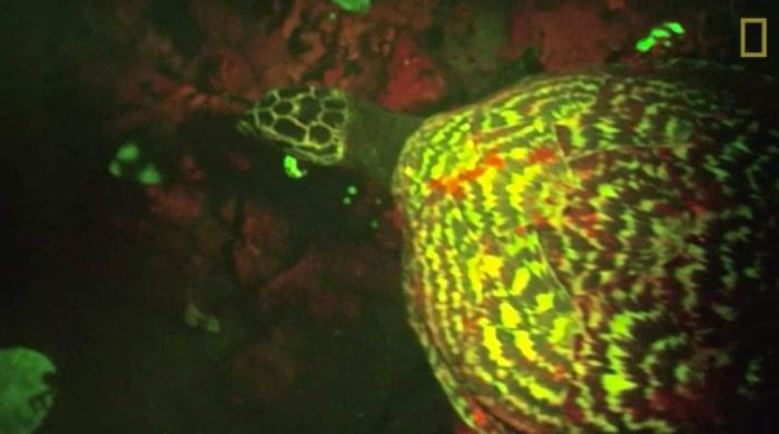 A glowing hawksbill sea turtle surprised researchers, who weren't expecting biofluorescence in a marine reptile. Photo: Screen grab