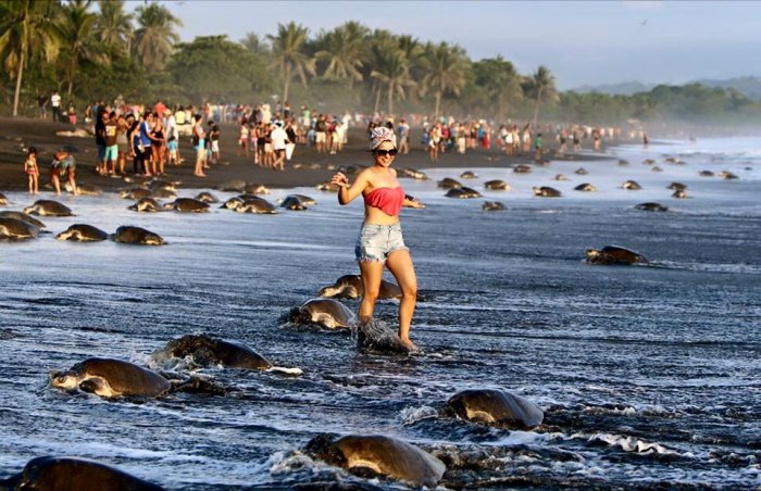 Tourists behave badly, disrupting the nesting of olive ridley sea turtles. Photo: Environment Ministry's Workers Union (SITRAMINAE)