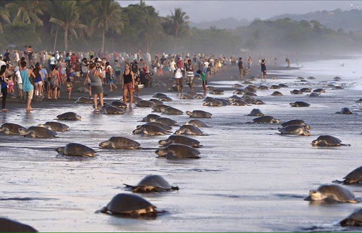 Tourists overran the beach at Ostional Wildlife Refuge, disrupting the olive ridley sea turtles. Photo: Environment Ministry's Workers Union (SITRAMINAE)