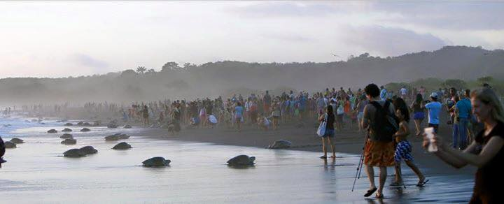 Measures are already being taken to prevent  future disruptions of the olive ridley sea turtles. Photo: Environment Ministry's Workers Union (SITRAMINAE)