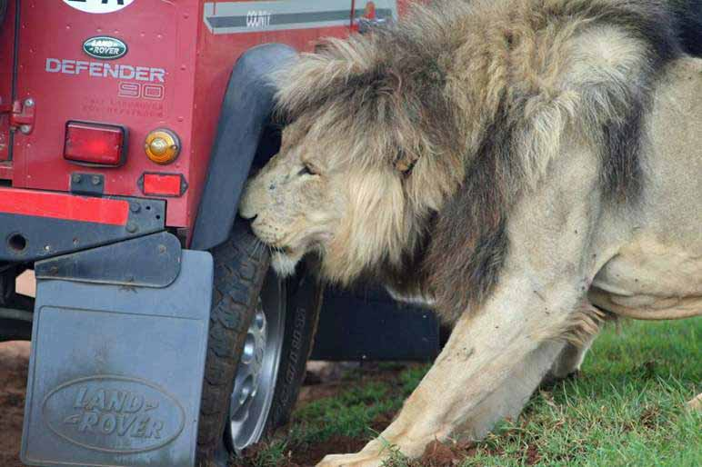 Lions tried to eat the tires of the safari truck.