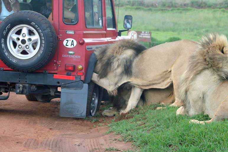 Tourists inside were terrified as the lions mauled the truck for an hour.