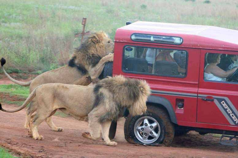 Lions destroy tires and attempt to shatter windows to get at the humans inside.