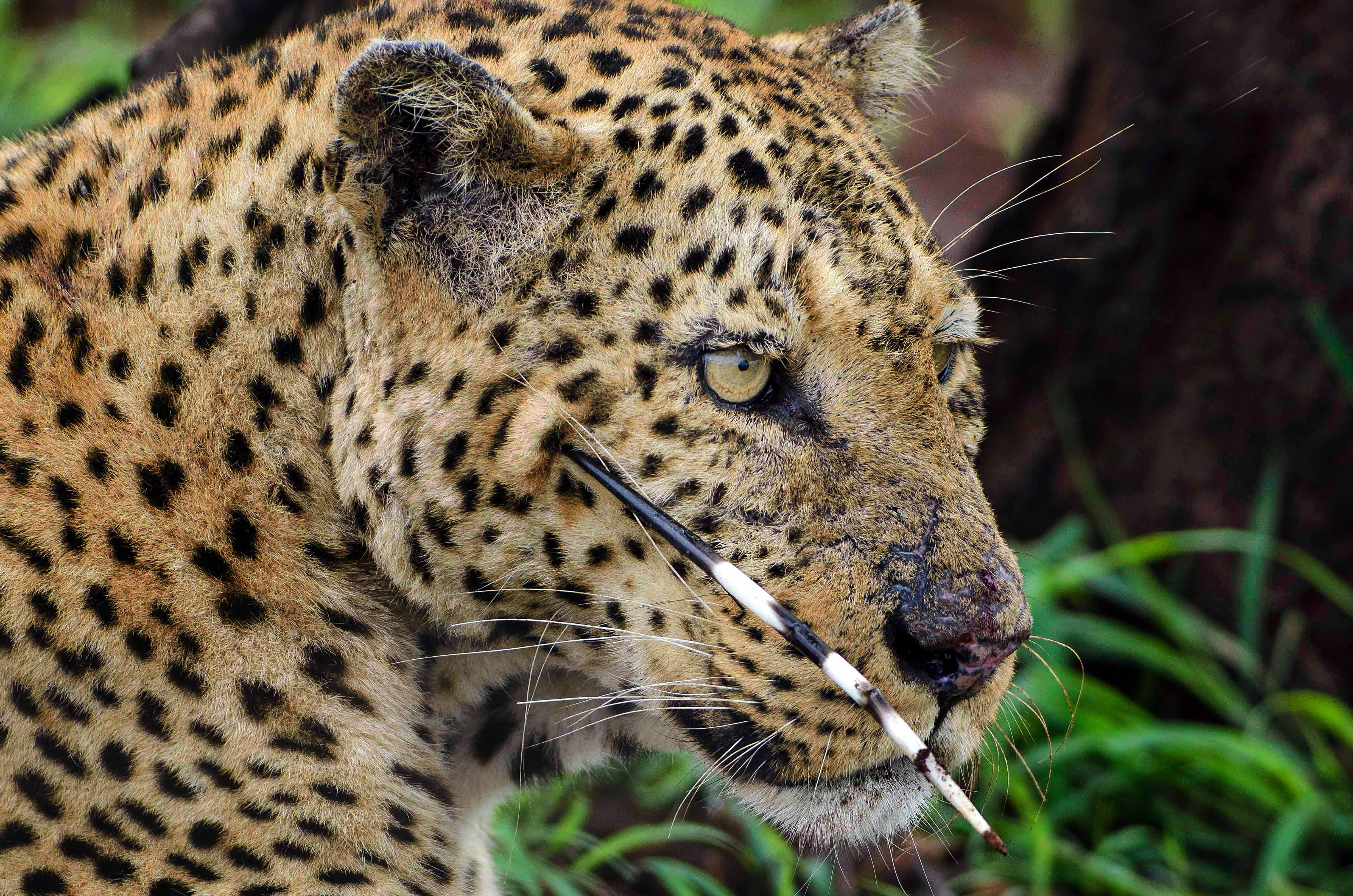 Leopard with a quill under its eye after attack on porcupine went horribly wrong.