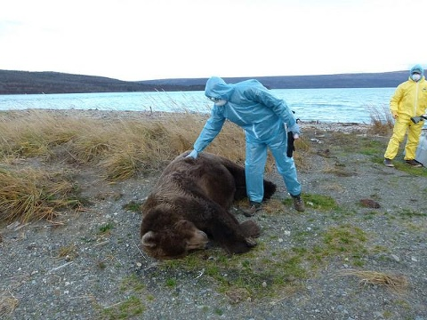 Katmai National Park officials are investigating the sudden deaths of an adult brown bear and a cub that were witnessed on the park's bear cam.
