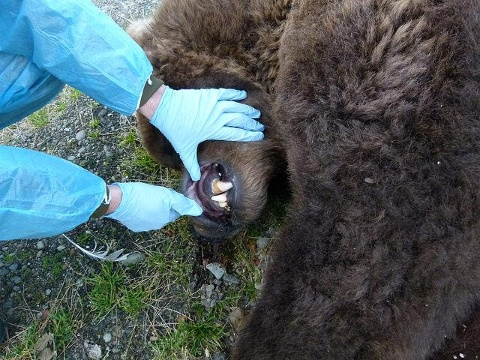 Rarely, if ever, have Katmai National Park officials ever witnessed a bear die of unknown causes.