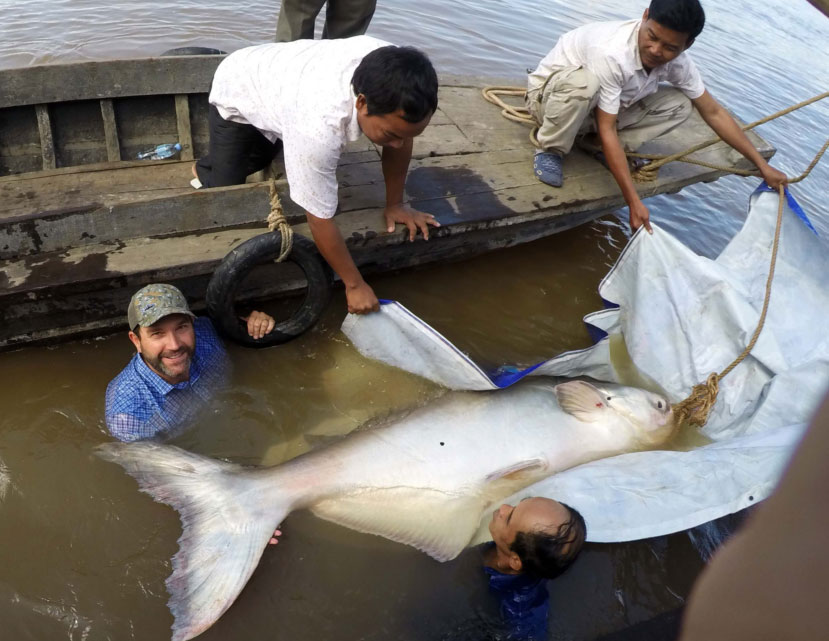 A massive and rare Mekong giant catfish is tagged and released in Cambodia.