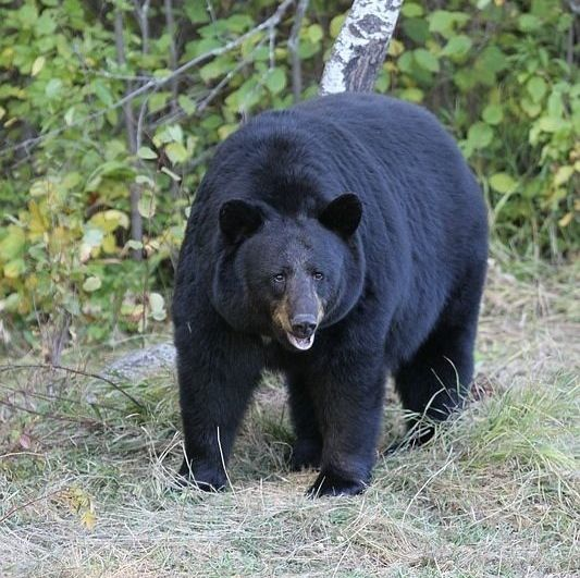 A black bear attacked a boy scout leader, dragging him into a cave in New Jersey.