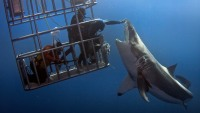 A diver dangerously leans out of a shark cage to touch the nose of a great white shark at Guadalupe Island.