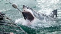 Locals on Stewart Island say shark cage diving has made great white sharks more aggressive.