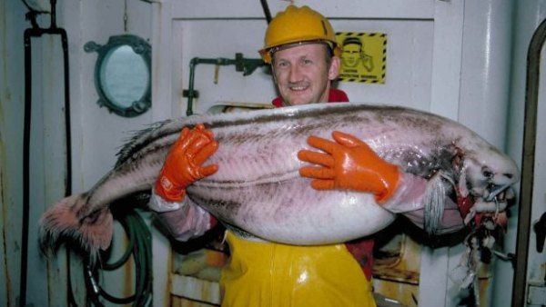 An undated photo of a ragfish from NOAA, similar to the one that recently washed ashore in Gustavus, Alaska.