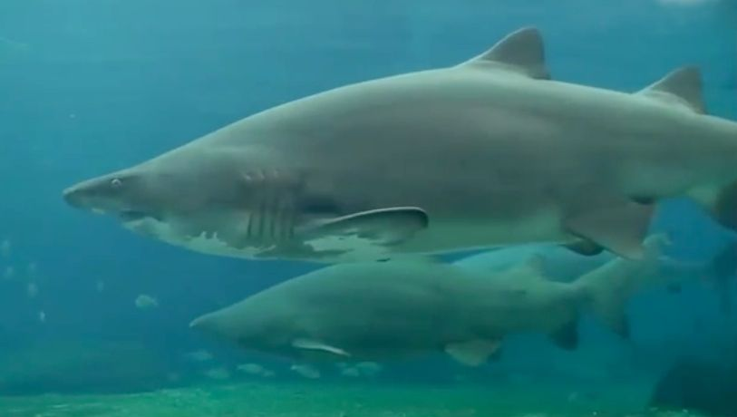 A normally docile sand tiger shark was provoked into attacking a diver in an aquarium.