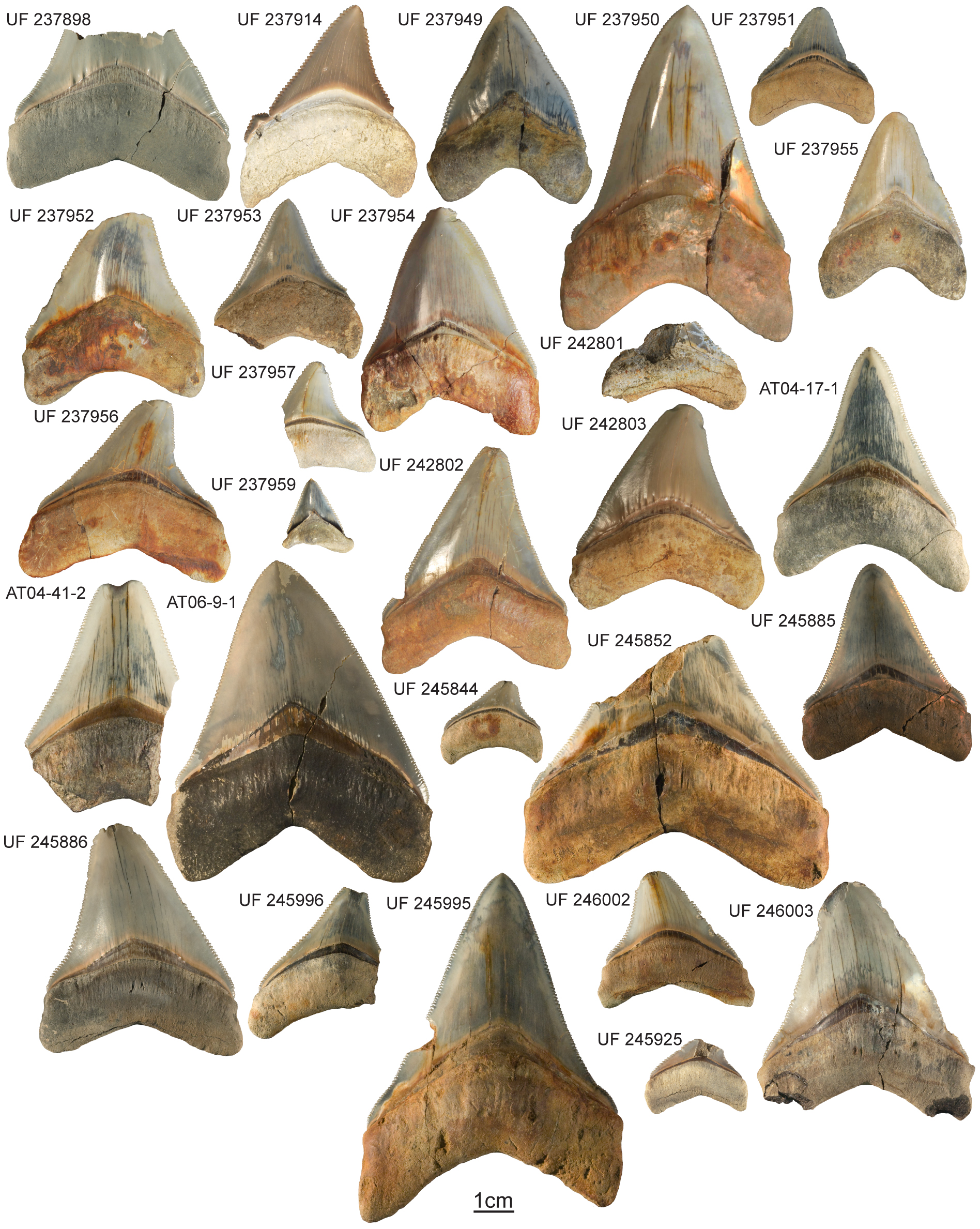 Some teeth of the megalodon were up to 7-inches long. Photo: Courtesy of ©Pimiento/Florida Museum of Natural History