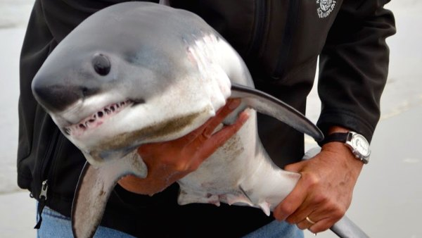 Even a baby shark has dangerously sharp teeth that can cause serious injury.