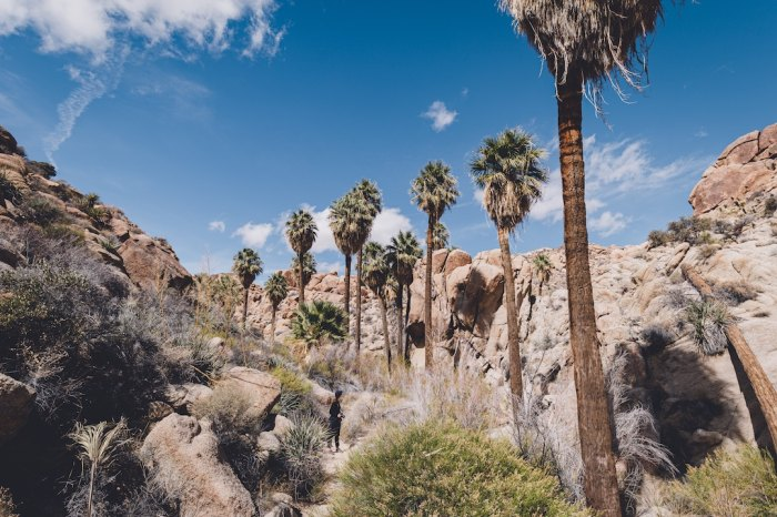 Joshua Tree National Park lines the hike to the Lost Palms Oasis