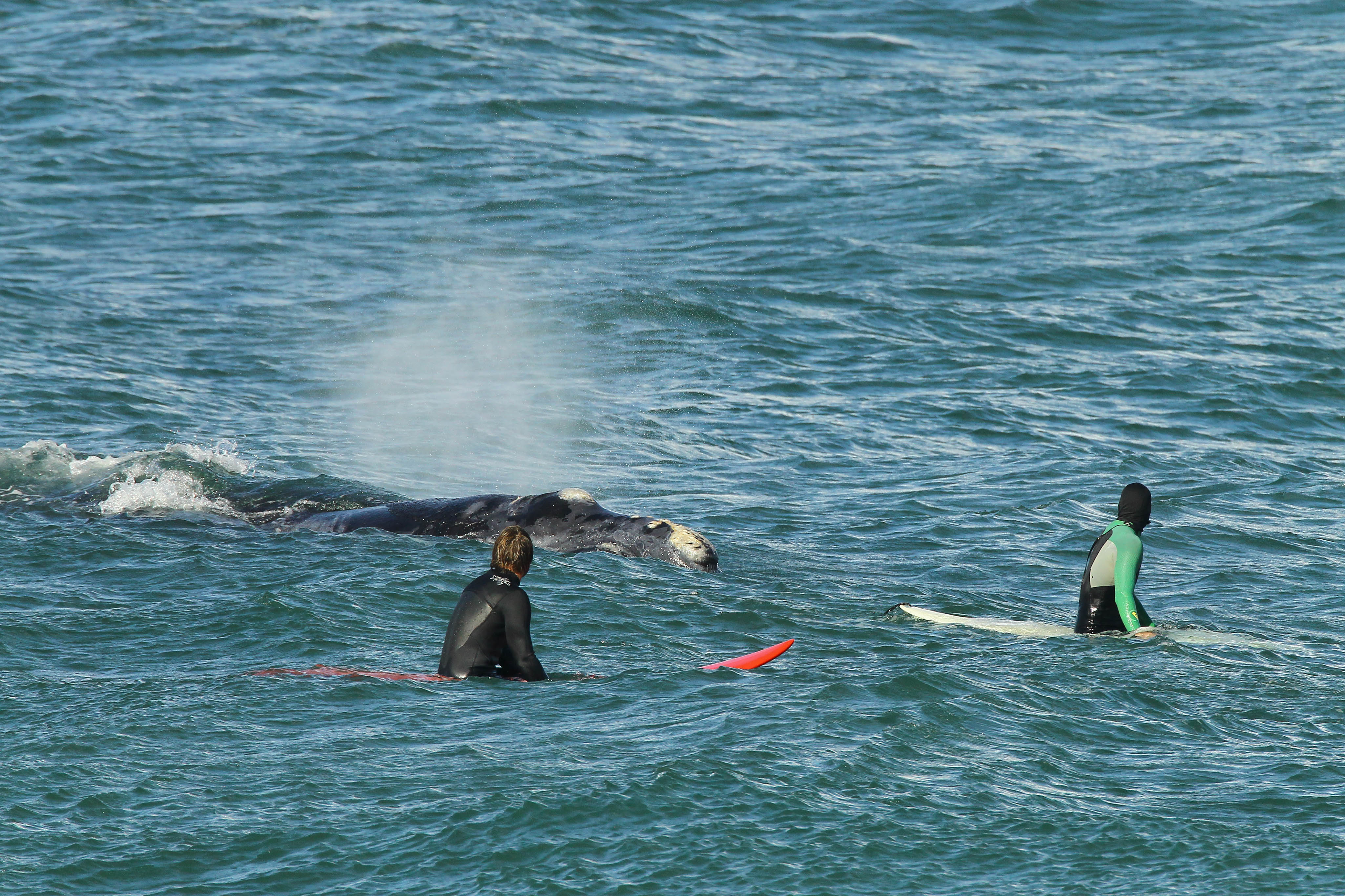 A whale joins the surfing lineup off Hermanus, South Africa.