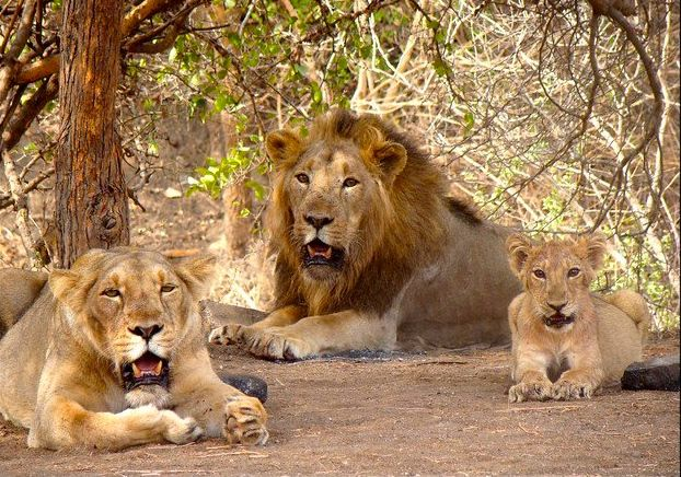 A pride of Asiatic lions is believed to be responsible for three deaths in three months.